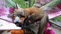 Is there anything cuter than a fox? Maybe a fox cub, but that's it! Animals And Pets, Baby Animals, Cute Animals, Strange Animals, Beautiful Creatures, Animals Beautiful, Happy Fox, Fantastic Fox, Pet Fox
