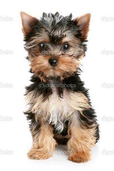 I WANT THIS YORKIE!!!!!! Sooooo adorable!!! :)