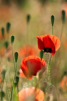 Poppies #bokeh