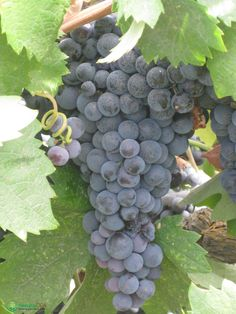Get the best Grape Growing Guide on our website today.