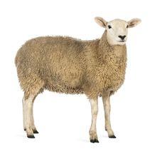 Die 20 Besten Bilder Von Balladen A Sheep Animais Und Animales