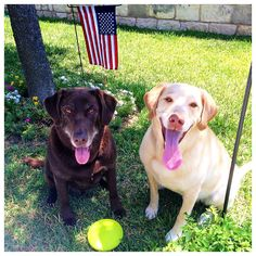 Boomer and Harley at their Austin home. Austin Homes, Labrador Retriever, House Styles, Dogs, Animals, Labrador Retrievers, Animales, Animaux, Pet Dogs