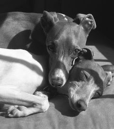 Italian Greyhound Making His Bed (Cute Video) and Black and White Picture