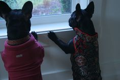 """""""When are the coming home""""... """"Pretty soon, I hope"""", lonely French Bulldogs"""