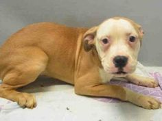 8 24 16 bonded dogs terrified after losing homedottie id a152510 aries id a152509 chicago. Black Bedroom Furniture Sets. Home Design Ideas