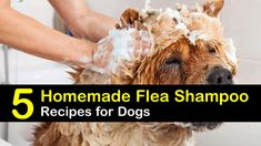 With our homemade flea shampoo for dogs, your favorite pooch no longer has to suffer from fleas. Our simple recipes provide amazing results. Homemade Flea Shampoo, Flea Shampoo For Dogs, Homemade Conditioner, Pet Shampoo, Tick Spray For Dogs, Flea And Tick Spray, Homemade Flea Killer, Flea Remedies, Face Scrub Homemade