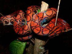 Roulets: É O BICHO: AS BELÍSSIMAS CORES DA EPICRATES CENCHRIA A FIZERAM SER CONHECIDA COMO A JIBÓIA ARCO-ÍRIS Reptiles, Creepy, Creatures, Pets, Snakes, Animals, Image, Rainbows, Noodles