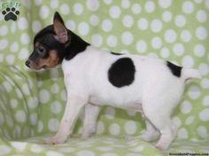 rat terrier puppies craigslist Cute Baby Animals
