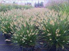 Pennisetum alopecuroides 'Little Bunny' Fountain Grass, Little Bunny Dwarf from Kankakee Nursery