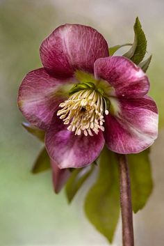 Hellebore – Mandy Disher