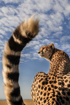 Cheetah in Masai Mara.  I bet that photo was taken when the cheetah jumped on the roof of the Jeep!