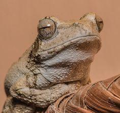 Mvuu Lodge frog