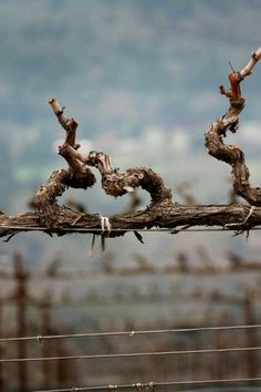 Winter in vineyard - Grape Vine