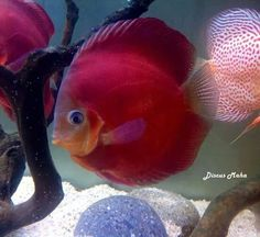 Awesome discus