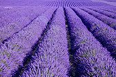 I remember seeing a field of lavender in Virginia near the James RIver ... my brother had died the year before, but I thought maybe he viewed the same scene when he was in Virginia.