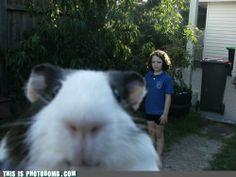 Guinea pig photobomb