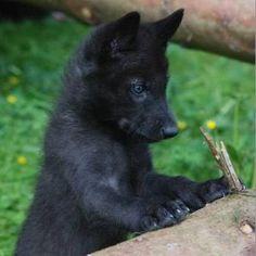 Resultado de imagem para Black wolf cub