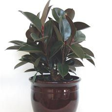 India Rubber Plant 'Burgundy' (Ficus elastica) Planting & care information