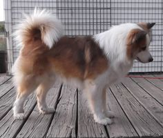 The first website to refer to is the official Icelandic Sheepdog Association of America's webpage which has a wealth of information. The Icelandic Sheepdog is a slightly smaller than medium sized. Icelandic Sheepdog, Shetland Sheepdog Puppies, Vikings, Dog Dna Test, Pet Dogs, Pets, Doggies, Gado, Herding Dogs