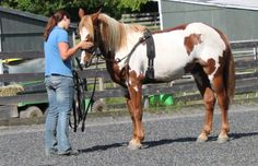 Day #42: Summer lunged Amado in the arena with a bridle, surcingle and side reins.