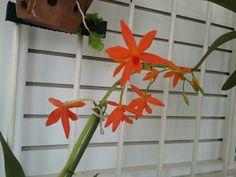 Mini Cattleya laranja