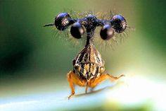 """The Bell Bearer""; the ""Globulare"" -Brazilian Treehopper, or Bocydium globulare"