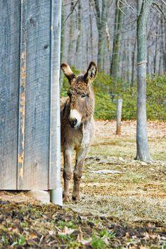 Cute bashful donkey covered in long curls looking around the barn corner in the barnyard.