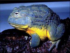 Blue Bull Frog