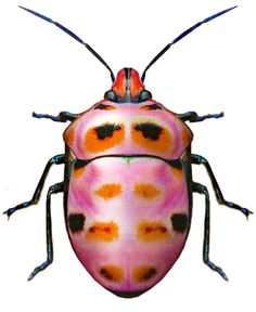 Mundo de macros - Macro World #Macros - #Insects - #Zoom - # Focal Area - #picture - #color #Macros - #Insectos - #Zoom - #Apertura Focal - #Imagen - #colorScutellaridae, unidentified sp. hip hop instrumentals updated daily =>…