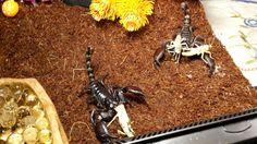 . Scorpion, Collection, Scorpio