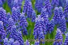 grape hyacinths, muscari armeniacum, grape hyacinth muscari