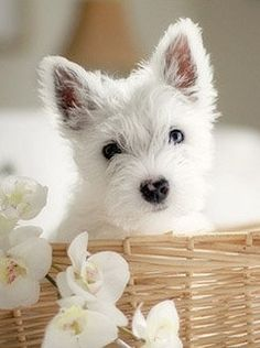 Adorable white puppy; Terrier Dogs;