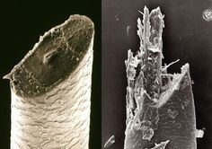 Beard hairs under a scanning electron microscope: cut with razor (left) and electric shaver (right)