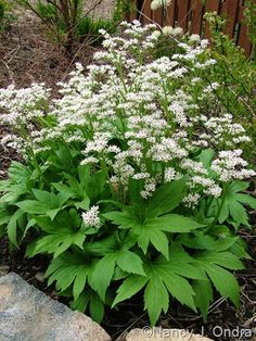 Name That Garden White Plants, Flowering Shrubs, Shade Garden, Fertility, Herbs, Shades, Flowers, Beautiful Gardens, Garden Ideas