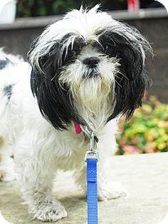 Detroit, MI - Shih Tzu Mix. Meet Pikachu, a dog for adoption. http://www.adoptapet.com/pet/11503291-detroit-michigan-shih-tzu-mix