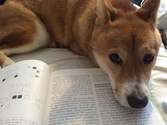 My baby Shiba Inu wanting attention while I try to study. Who can resist?