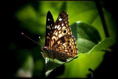 Sunliat Butterfly