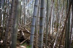 Bamboo Forest - Sasebo - Japan - Let's go exploring! Sasebo Japan, Exploring, Vacations, Bamboo, Trees, Pictures, Fun, Holidays, Photos
