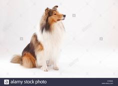 rough-collie-male-DY854E.jpg (1300×956)