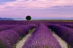 Essential Oils are an ancient form of healing that cleanse and rejuvenate and are safe, natural and healthy. Young Living Essential Oils are some of the finest quality available today, securing the… Lavender Fields, Lavender Flowers, Lavender Tea, Lavander, Mayfield Lavender, Growing Lavender, Young Living Essential Oils, Natural Remedies, Beautiful Places