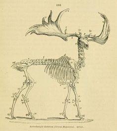 On the anatomy of vertebrates. Skeleton Drawings, Skeleton Tattoos, Deer Skeleton, Irish Elk, Doctor Stuff, Scientific Drawing, Skeleton Anatomy, Animal Skeletons, Horse Illustration