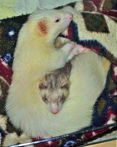 Old picture of my loves, Byder & Bear... I miss them so much it hurts. DIP, babies ❤️❤️❤️❤️❤️ #Ferrets #Cuddling #Ferret #Love #Byder #Bear #DIP, Uploaded by Jenna Johnson