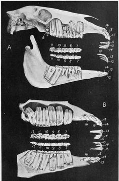 Dentition Of The Horse At Various Ages