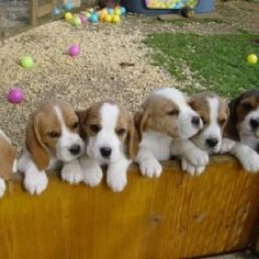 Beagle puppies! How could anyone resist!