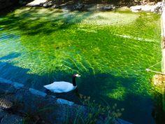#swan  #black Necked swan #philadelphia #philly Zoo