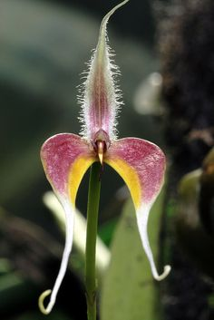 Bulbophyllum blumei, by Mikaels orchids, via Flickr