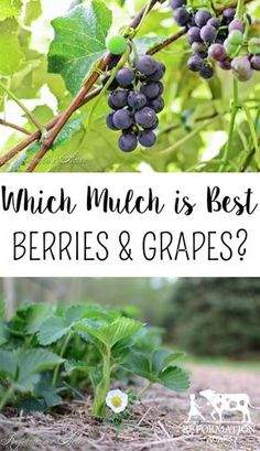 Which Type of Mulch is Best to Use on Berries and Grapes?