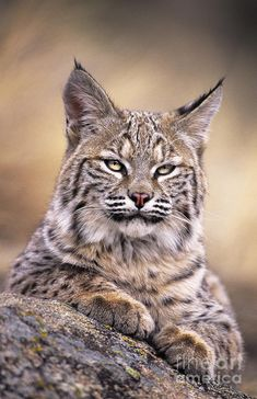 Bobcat by Dave Welling