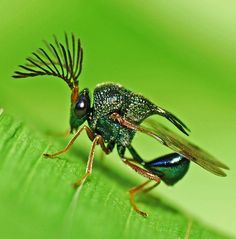 Metallic Wasp...amazing bug with the emerald green colors often seen in the tiny miracles of the created world, especially among insects. Detail of the feathery looking antenna associated with moths gives a unique photo! -DdO:)