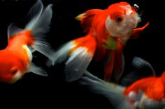 j-p-g: 金魚#3 (via NaokiOha)